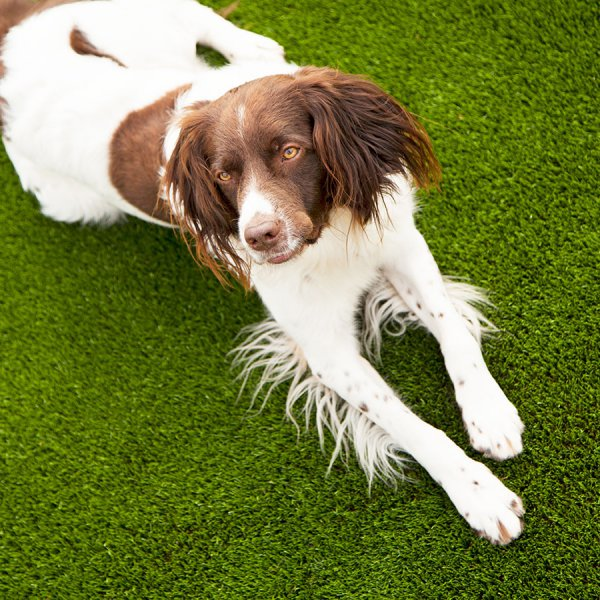 dogs-like-artificial-turf